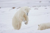 Polar Bear Ursus maritimus jumping on the snow with its front paws, Churchill, Hudson´s Bay, Manitoba, Canada