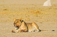 Lioness (Panthera leo) looks for prey, Nxai Pan, Makgadikgadi Pans National Park, Botswana, Africa