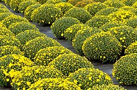 pots of yellow Chrysanthemum in a plants nursey