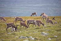 Domestic Reindeer (Rangifer tarandus) near Jotunheimen, Valdresflya, Norway, Scandinavia, Europe