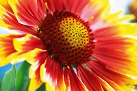 Firewheel or Indian Blanket or Blanketflower or Sundance (Gaillardia pulchella)