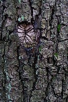 Oak tree bark (Quercus)
