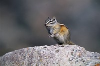 Least Chipmunk (Tamias minimus) alert adult, sitting on rock to survey surroundings