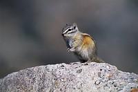 Least Chipmunk (Tamias minimus) alert adult, sitting on rock to survey surroundings