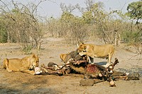Lions (Panthera leo) at a captured elephant, Savuti, Chobe national park, Botswana, Africa
