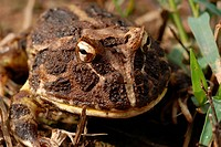 Close-up of a Chacoan - or Cranwell's Horned Frog (Ceratophrys cranwelli), Gran Chaco, Paraguay, South America