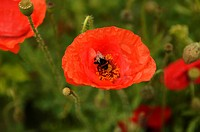 Bumblebee (Bombus) perched on a Red Poppy (Papaver rhoeas)