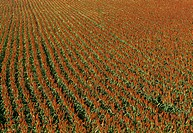 Agriculture _ Sorghum milo, field of ripe sorghum ready for harvest / KS