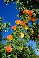 Agriculture _ Mature peaches on the tree / AR _ Clarksville