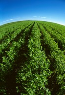 Agriculture _ Fisheye view of a large field of mid growth garbanzo bean plants chickpeas / Canada _ Saskatchewan, nr. Ponteix