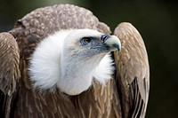 Griffon Vulture Gyps fulvus, Bavaria, Germany, Europe