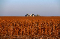 Agriculture _ Harvest stage soybeans at sunset with grain bins in the distance / Central IA.