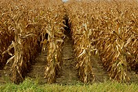 Agriculture _ Row ends in a field of fully mature, harvest ready, grain corn / MS
