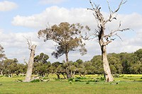One living eucalyptus tree flanked by two dead ones at Ambergate Reserve, Western Australia, Australia
