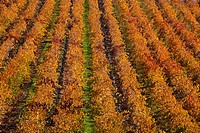 Agriculture _ High angle view of a wine grape vineyard with colorful Autumn foliage / CA _ Salinas Valley.