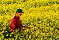 Agriculture _ A young farmer inspects his mid growth bloom stage canola crop on a bright, sunny afternoon / Canada _ MB, nr. Dugald.