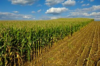 Agriculture _ Sloping, partially harvested late season field of mature silage corn / WI