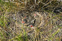 Vesper sparrow Pooecetes gramineus chicks in their nest in the grasslands of British Columbia, Canada