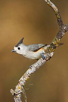 Black_crested titmouse Baeolophus atricristatus perched on a branch in the Rio Grande Valley in Texas, USA