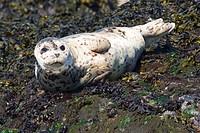 Fur seal Callorhinus ursinus basking on rocks near Victoria, Vancouver Island, British Columbia, Canada