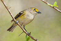 White_eyed Vireo Vireo griseus at Estero Llano Grande State Park in Texas, USA