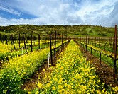 Agriculture _ Wine grape vineyard in late Winter dormant period with Mustard in full bloom / CA _ Solano County, Suisun Valley
