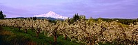 Agriculture _ Pear orchard in full Spring bloom and Mt. Hood in the background bathed in soft early morning overcast light / OR _ Upper Hood River Val...