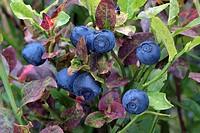 Bilberry, Blueberry (Vaccinium myrtillus), Kellerjoch, Schwaz, Tyrol, Austria, Europe