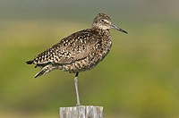 Willet Tringa semipalmata perched on fence post at Summer Lake Wildlife Area, Oregon, USA
