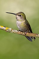 Female Anna´s hummingbird Calypte anna on perch in Victoria, Vancouver Island, British Columbia, Canada