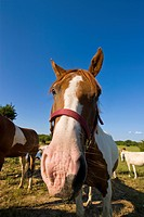 Livestock _ Closeup wide angle view of a horse / Childress, Texas, USA.