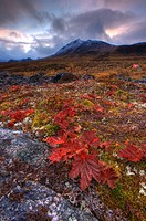 Vegetation on the tundra, Tombstone Territorial Park, Yukon, Canada