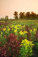 Field of wildflowers Teasle and Goldenrod near Canborough, Ontario, Canada