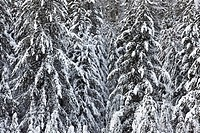 Snow_covered forest at Moose Meadows, Banff National Park, Alberta, Canada