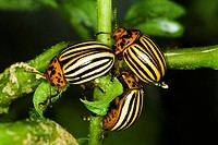 Agriculture _ Three Colorado potato beetles Leptinotarsa decemlineata feeding on a potato plant / Michigan, USA