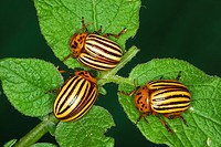 Agriculture _ Three Colorado potato beetles Leptinotarsa decemlineata feeding on potato leaves / Michigan, USA