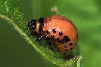 Agriculture _ Larva of a Colorado potato beetle Leptinotarsa decemlineata feeding on a potato leaf / Michigan, USA