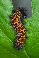 Agriculture _ Larva of the Baltimore butterfly Euphydryas phaeton / Michigan, USA