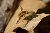 Agriculture _ Bee fly Bombylius major on a dry leaf / Michigan, USA