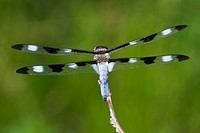 Agriculture _ Posterior view of a Twelve_spotted skimmer dragonfly Libellula pulchella / Michigan, USA