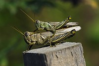 Agriculture _ Mating Differential grasshoppers Melanoplus differentialis / Michigan, USA