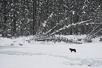Wild black Timber wolf Canis lupus on a frozen river in Western Canada