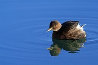 Little Grebe (Tachybaptus ruficollis), Isar River near Bad Toelz, Bavaria, Germany, Europe