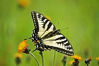 Canadian tiger swallowtail Papilio canadensis nectaring on Orange hawkweed flowers, Lively, Ontario, Canada
