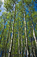 Looking upwards in aspen grove, with emerging spring foliage, Sudbury, Ontario, Canada