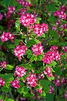 Flowering Currant or Red-flowering Currant (Ribes sanguineum)