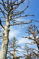 Plane or Sycamore Trees (Platanus acerifolia)