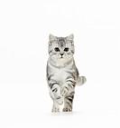British Shorthair cat _ kitten _ cut out