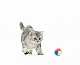British Shorthair cat _ kitten _ playing _ cut out