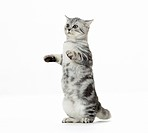 British Shorthair cat _ kitten _ cut out